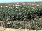 160_opium_poppies_0604041.jpg